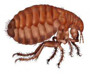remove fleas in your home in Exeter, Torbay & East Devon